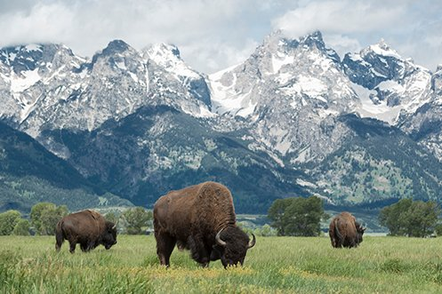 Three bison grazing in front of the Teton Range in Grand Teton National Park, Wyoming, a state that is #1 on the 2020 Best States for Homeowners ranking